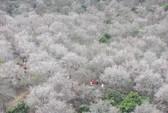 Cao nguyên Mộc Châu chìm đắm trong màu trắng hoa mơ