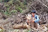 Gần 2 hecta rừng bị phá, chỉ cách kiểm lâm 500m nhưng