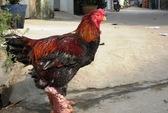Kiếm tiền tỉ từ nuôi gà Đông Tảo