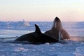Đàn cá voi mắc kẹt, ngoi ngóp giữa biển băng