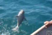 Được ngư dân cứu, cá heo nhảy lên cảm ơn