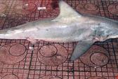 Cá mập lại xuất hiện tại bãi tắm Quy Nhơn
