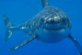 12 tuổi lập kỷ lục câu cá mập 250 kg