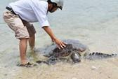 Thả rùa quý nặng 80kg về biển