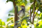 Phát hiện loài chim mới giữa thủ đô Campuchia