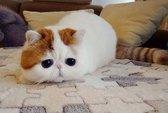 """Mèo """"mặt buồn"""" gây sốt khắp thế giới"""