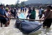 Hà Tĩnh: Bắt được cá lạ còn sống nặng hơn 350 kg