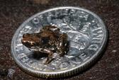 Bất ngờ với ếch siêu nhỏ, chỉ 7 mm