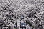 Hoa anh đào nở kín Tokyo