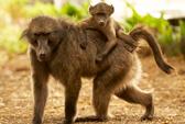 Bắn chết người vì tưởng là… khỉ