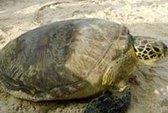 Thả rùa 52 kg về với biển