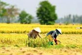 Gặt lúa, say nắng, tử vong
