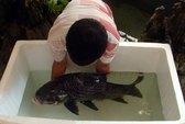 Cứu hộ cá hô đen nặng 12 kg