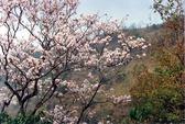 Rực rỡ mùa hoa ban Tây Bắc