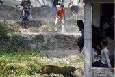 Báo hoang đại náo làng quê, 15 người bị thương