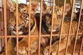 Đem 2 con hổ nuôi đi gởi vì sợ bị