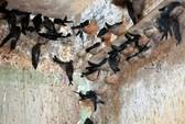Hết dịch cúm A/H5N1 trên đàn chim yến