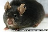 Nhân bản thành công chuột từ một giọt máu