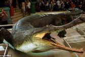 Cá sấu từng ăn cỏ, chạy lon ton như chó