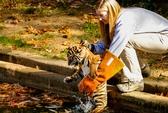 Hổ sumatra nhút nhát như mèo con khi xuống nước