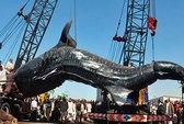 Bắt được cá mập voi dài kỷ lục