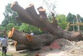 Hàng chục cây xanh trong Công viên Gia Định bị đốn hạ không thương tiếc!