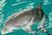 Cá heo lạc đàn đòi giao phối với người