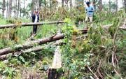 Sau phản ánh của Báo Người Lao Động: Chủ tịch tỉnh Lâm Đồng chỉ đạo ngăn chặn phá rừng