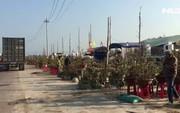 Những làng trồng mai chuyên nghiệp thu tiền tỉ ở An Nhơn, Bình Định