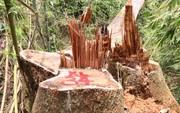 """Cận cảnh rừng lim cổ thụ hàng trăm năm tuổi bị """"xẻ thịt"""" kinh hoàng"""