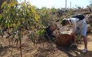 Gia Lai: Để mặc dân phá rừng