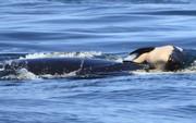 Cảm động cá voi sát thủ đau buồn vì con chết