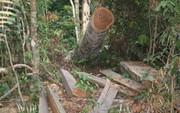 Khởi tố vụ phá rừng cổ thụ ở Bình Định