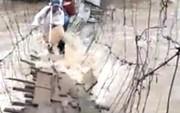 Thót tim trước cảnh mạo hiểm vượt nước lũ bằng cầu treo