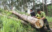Lâm Đồng: Ồ ạt triệt hạ rừng thông để chiếm đất