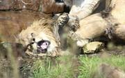 """Bị 9 sư tử cái """"đánh hội đồng"""", sư tử đực đầu đàn chạy không nổi"""