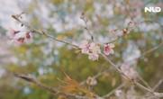 Đà Lạt đẹp thơ mộng giữa mùa mai anh đào