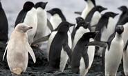 Phát hiện chim cánh cụt trắng cực quý