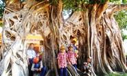 Ngắm cây bồ đề có bộ rễ tạo thành 3 cổng độc đáo ở Phú Yên