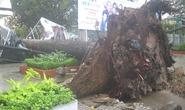 Cây xanh ngã đổ hàng loạt sau cơn mưa chiều nay
