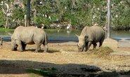 Thực hư tác dụng của sừng tê giác