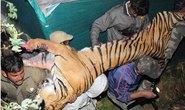 Hổ và người chạm trán