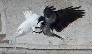 Chim bồ câu của Giáo hoàng bị phục kích
