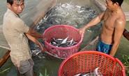 Cảnh giác giá cá tra tăng nóng