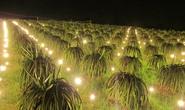 Điện Quang hỗ trợ nông dân trồng thanh long