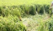 Đường dây 220 KV đứt xuống ruộng lúa, giật chết 1 nông dân