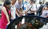 Chuyên gia cá Koi Nhật Bản sang Việt Nam