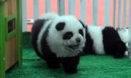 Chó gấu trúc gây sốt ở Trung Quốc