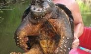 Bắt được quái vật rùa cá sấu nặng 45 kg