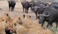 Trâu rừng liều mạng đánh sư tử cứu bạn